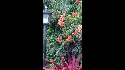 Winter Flowering Cape Honeysuckle Brings In New Holland Honey Eaters