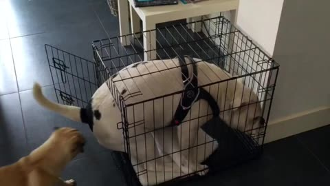 Bulldog is trying to fit in Pug house