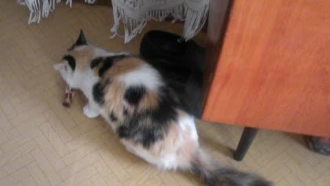 The Puma-I cat eats a bone and growls wildly.