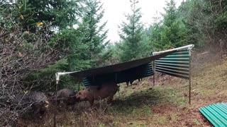 Pig Shelter Fail: Rebuilding After Oregon Rain Storm