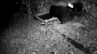 Skunk Visit - Night Vision