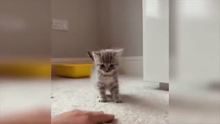 Cat playing with owner's hand