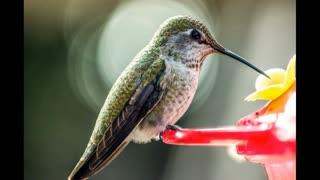 Hummingbirds - God's masterpiece