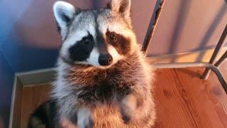 Pet raccoon rubs his hands together when he wants treats