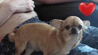 Chihuahua, sweetheart begging for affection, love