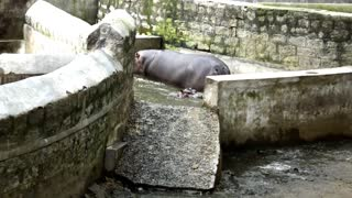 Mother Hippo Get In Water With Son