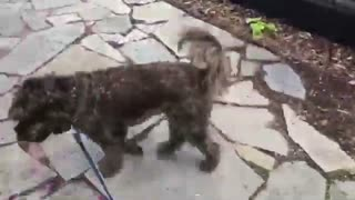 CUTE DOGS!! Border Doodle Helping Golden Doodle