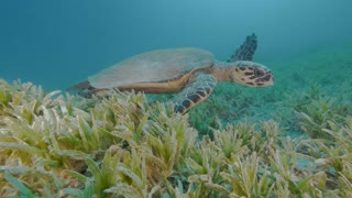 Sea Turtle Swims along the Seagrass