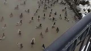 The invasion of ducks
