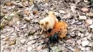 Dog v/s chicken Fight