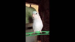 Darwin Parrotlet says 'Step Up'