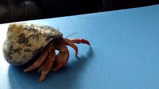 Hermit Crab!