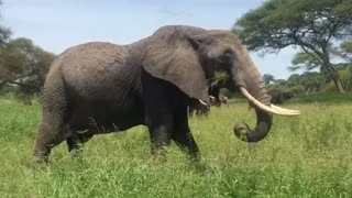 Elephant Nature Earth Uganda Africa Wildlife New HD 2021