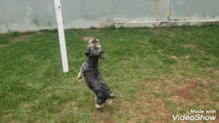 Dog playing with balloon - Barto