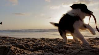 Puppy Dog Playfull