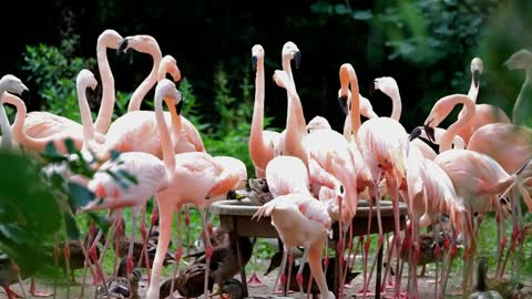 See a group of Flamingo birds with beautiful music