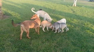 Watch a group of dogs eating each other