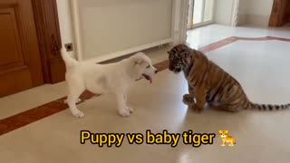 dog and tiger mix fighting