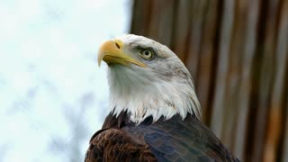 Aguila Arpía Colombia