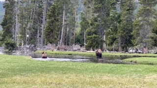 Bison Takes Unexpected Tumble Into Water