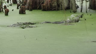 Alligator fishing in a green swamp