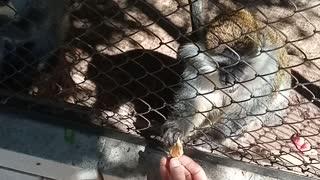 Monkeys eat cookies