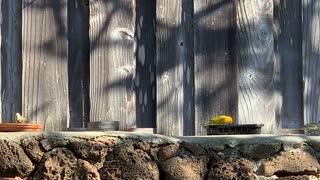 #Back Yard Birds Hawai'i Saffron Finch / Canary & Babies