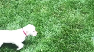 Puppy adorably chases water from the hose