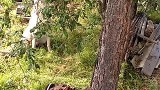 Hunting dog barks and climbs a tree for a squirrel