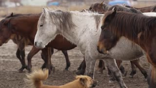 Horses trotting
