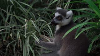 A Lemur Eating