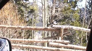 Funny Magpie Walking on Fence. Rocky Mountain National Park, Colorado