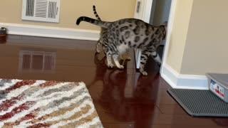 Adult Bengal Cat Teaching Kitten How to Open Doors