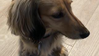 Adorable Burp from a Mini Dachshund