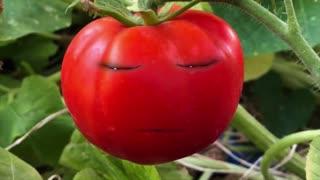 Tomato, tomahto!