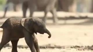 Baby elephant takes her first walk moments after being born