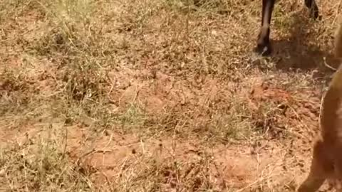 Animal fighting @