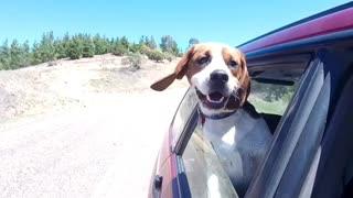 Trance Loving Beagle And His Dancing Ears