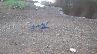 3 Common Pigeons