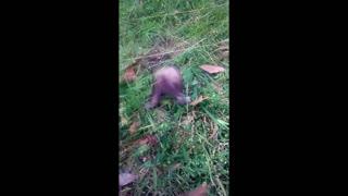 Cute ferret. Nibbles finds postholes