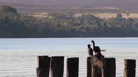 Black Serving ducks On shore sunset
