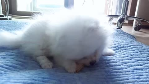 Puppy eating dental chew