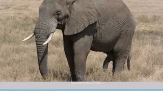 African Bush Elephant - Video Learning