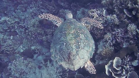 Hawksbill sea turtle in the Sea 3 - man & camera