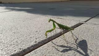 Mantis Walks Down Spanish Street
