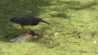 Green Heron Fishing in Florida swamp...catching some small fish
