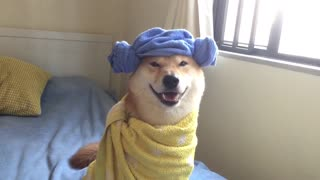 Shiba Inu shows off various Halloween costumes