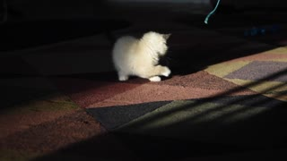 Cute Siamese kitten plays with String
