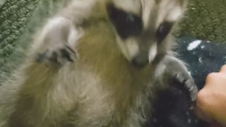 Rescued Raccoon Pup Purrs for Belly Scratches