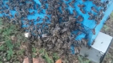 Bees vs hornet